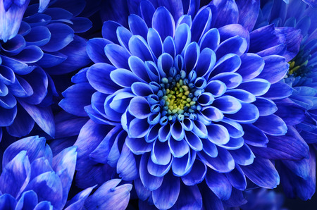 Photo for Close up of blue flower : aster with blue petals and yellow heart for background or texture - Royalty Free Image