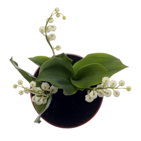 Photo pour Close up of Lily of valley flower on white background - image libre de droit