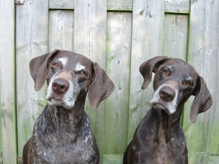 (German Shorthaired) Pointer Sisters