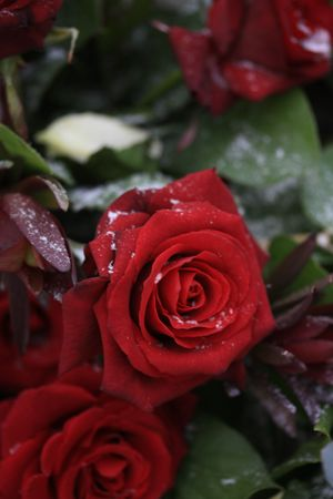 red roses with some snowflakes