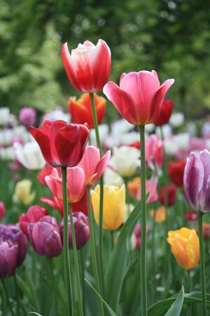 Photo for Various colors of mixed tulips in a field - Royalty Free Image