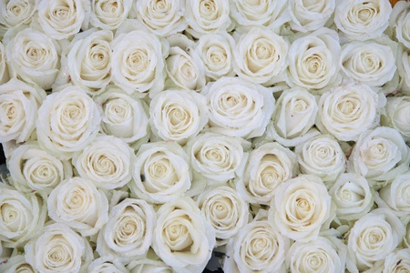 Photo for Big group of white roses with waterdrops after a rainshower - Royalty Free Image