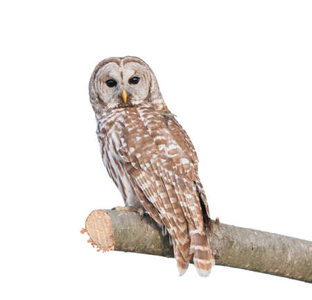 Photo for Barred Owl sitting on a pine tree isolated on white - Royalty Free Image