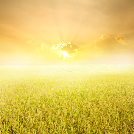 Photo for Yellow rice field and sunset for background - Royalty Free Image
