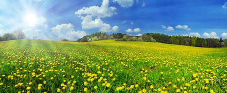 Beautiful spring panoramatic shot with a dandelion meadow and shining sun