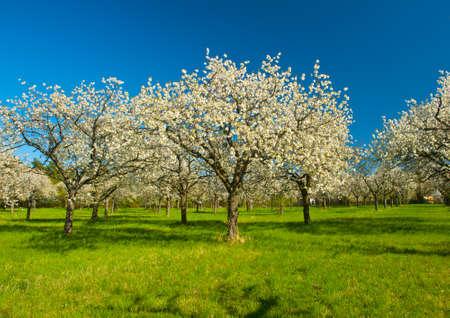 Foto de Apple Orchard in the middle of the spring season. Panoramic photo.  - Imagen libre de derechos