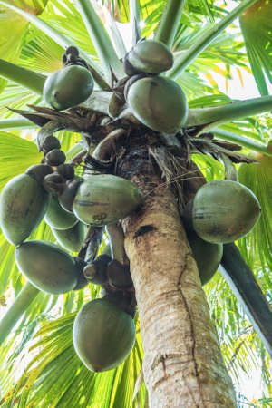 Photo for Famous endemic coconuts of Seychelles - Royalty Free Image