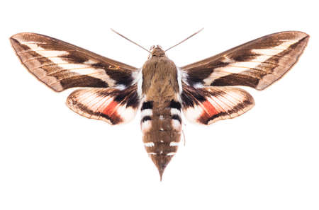 Foto de Male Bedstraw hawk-moth (Hyles gallii) isolated on white background  - Imagen libre de derechos