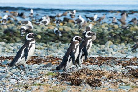 Foto de Three wild Magellanic penguins (Spheniscus Magellanicus) walking on a coast of Magdalena island, Chile - Imagen libre de derechos