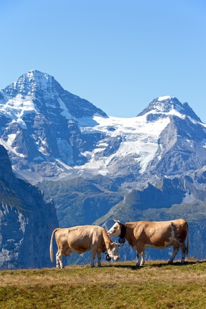 Two cows in the Swiss Alps with mountains in the background mural