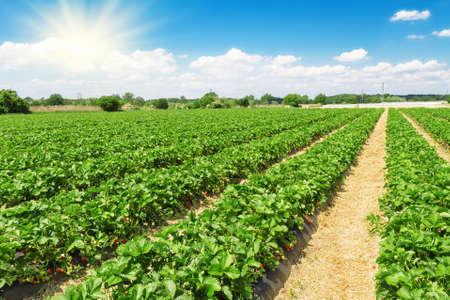 Foto de Strawberry plantation on a sunny day - Imagen libre de derechos