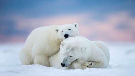 Photo pour Two polar bears sleeping on the snow - image libre de droit