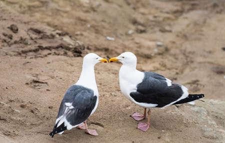 Foto de Two seagulls in love standing on the cliffs in La Jolla, California - Imagen libre de derechos