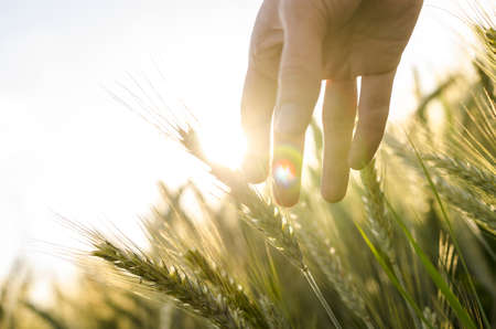Photo for Hand of a farmer touching ripening wheat ears in early summer. - Royalty Free Image