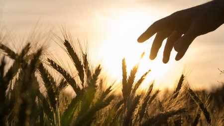 Photo for Hand of a farmer touching his wheat field caring for his crop at beautiful sunset. - Royalty Free Image