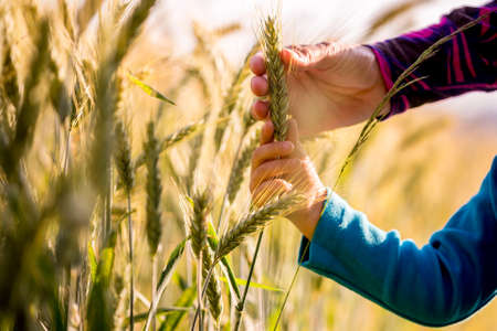 Photo for Child and woman holding a ripening ear of wheat growing in an agricultural field in a conceptual image, close up view of their arms and hands. - Royalty Free Image