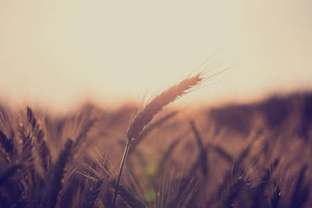 Photo pour Retro vintage style image of a wheat field at sunrise with ears of ripening wheat back lit by the sun with copyspace over the sky in an agricultural and nature background concept. - image libre de droit