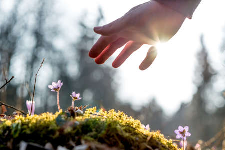 Foto de Hand of a man above a mossy rock with new delicate blue flower back lit by the sun. Concept of human caring and protecting for nature. - Imagen libre de derechos