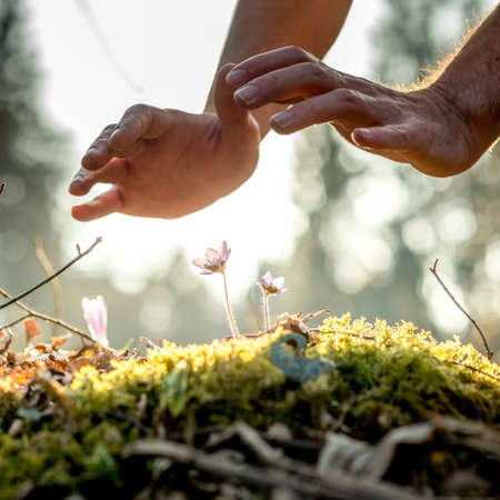 Foto de Conceptual image of male hands making a protective gesture over a small spring flowers in the woods backlit with a beautiful evening sun. - Imagen libre de derechos
