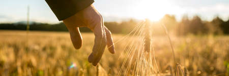Foto de Businessman reaching down with his finger and gently touching an ear of ripe golden wheat in a field wheat at sunrise backlit by the golden sun, closeup of his hand. - Imagen libre de derechos