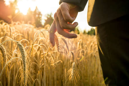 Photo pour Businessman walking through a golden wheat field touching an ear of ripening wheat at sunset backlit by the golden sun. Conceptual of turning back to nature for inspiration, energy and peace of mind. - image libre de droit
