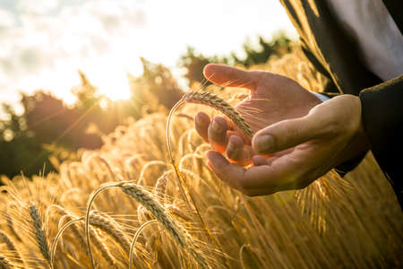 Foto de Closeup of hands of businessman cupping a ripe ear of wheat in holding it in front of the fiery orb of the rising morning sun in a conceptual image for business inspiration and start up. - Imagen libre de derechos