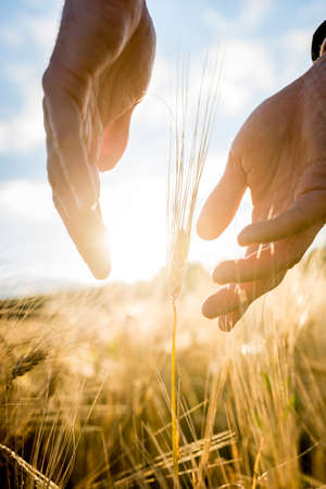 Photo pour Agronomist or farmer cupping his hands around an ear of wheat in an agricultural field backlit by the warm glow of the rising sun between his hands, suitable for business,  life and prosperity concepts. - image libre de droit