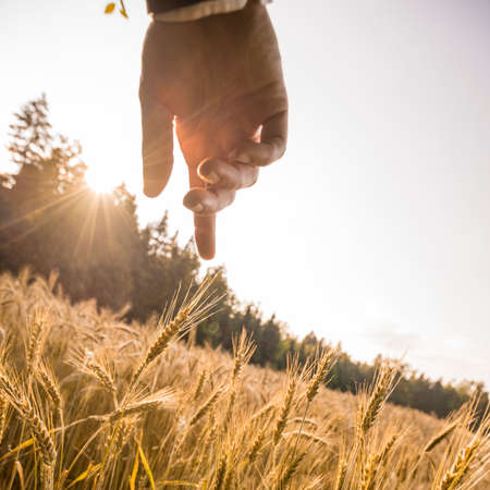 Photo for Male hand about to touch a ripening golden ear of wheat in the middle of beautiful wheat field lit by the evening sun. Conceptual of wealth, ecology, business startup and abundance. - Royalty Free Image