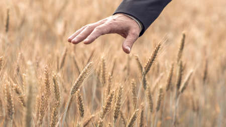 Foto de Retro style image of a hand of a businessman in a suit touching a ripening ear of wheat in an agricultural field in a conceptual image. - Imagen libre de derechos