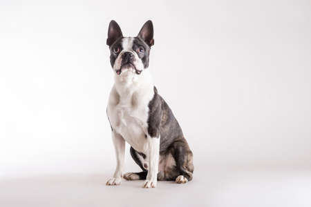 Photo pour Loyal Boston Terrier sitting on grey watching looking upwards with an alert intent expression with copy space. - image libre de droit