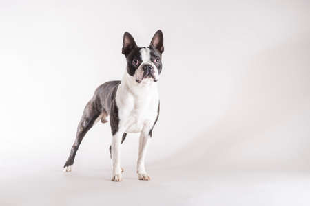 Photo pour Full length studio shot of a young and alert Boston Terrier dog looking with concentration with copy space on grey background. - image libre de droit