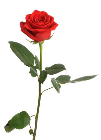 Photo for Red rose. It is isolated on a white background - Royalty Free Image