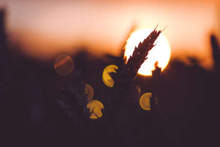 Photo for Silhouette of wheat ears in front of sun ball. Sunset light back lit. Beautiful sun flares bokeh - Royalty Free Image