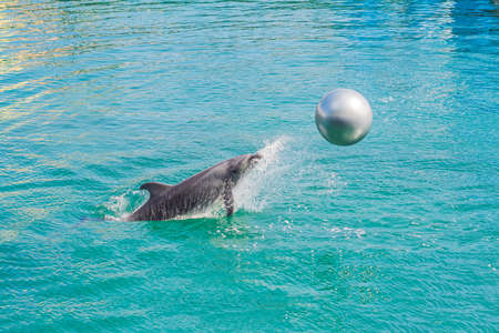 Photo for dolphin in blue water playing with the ball. - Royalty Free Image