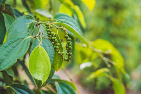 Photo pour Black pepper farm in Vietnam, Phu Quoc. - image libre de droit