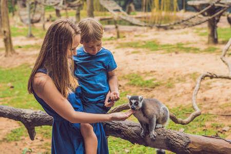 Foto de Mom and son are fed Ring-tailed lemur - Lemur catta. Beauty in nature. Petting zoo concept. - Imagen libre de derechos