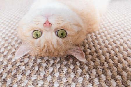 Foto de A beautiful cream tabby cat with green eyes lies on the back on a beige carpet - Imagen libre de derechos