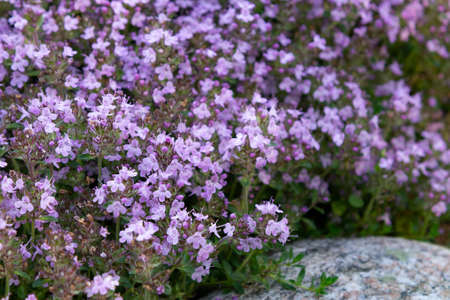 Photo pour Groundcover blooming purple flowers thyme creeping on a bed in the garden, cose up, soft selective focus. - image libre de droit