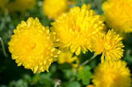 Photo for Chrysanthemum flowers grow outdoors in the fall on a sunny day - Royalty Free Image