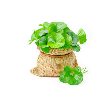 Foto de Fresh Centella asiatica, Asiatic Pennywort leaf on white background. - Imagen libre de derechos