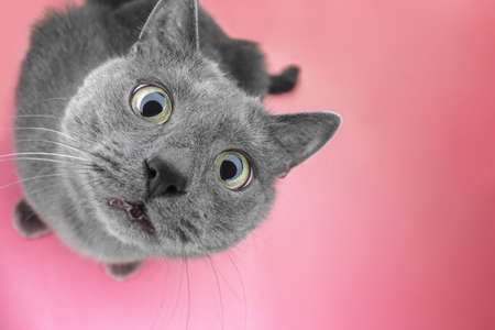 Foto de grey cat sitting on the pink background looking at camera - Imagen libre de derechos