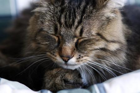 Photo pour The face of a sleeping Norwegian forest cat - image libre de droit