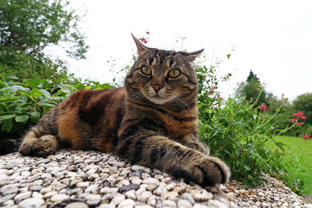 Photo pour Wide angle view of an angry looking cat - image libre de droit