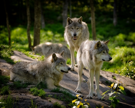Foto de A small pack of three Eastern timber wolves gather on a rocky slope in the North American wilderness. - Imagen libre de derechos