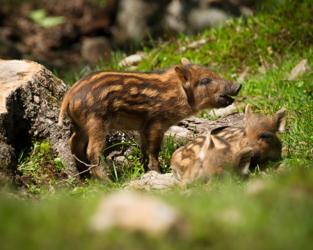Photo pour A group of baby wild boar or wild pigs (Sus scrofa) in the green grass of the summer sun. - image libre de droit