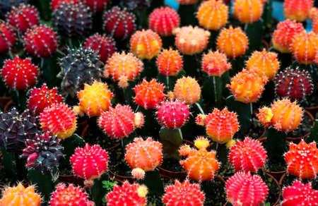 Photo pour Group of beautiful color cactus in pot planting - image libre de droit