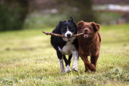 2 border collie dogs fetching a stick in open field