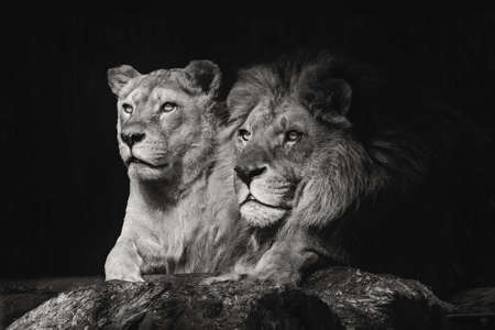 Photo for Portrait of a sitting lions couple close-up on an isolated black background - Royalty Free Image