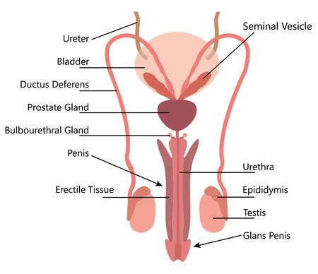 Illustration pour Male Reproductive System Vector Diagram On white Background - image libre de droit