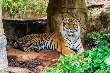 Photo for The Bengal tiger resting in the forrest - Royalty Free Image